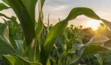 Nawożenie kukurydzy fosforem i potasem